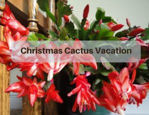 Christmas Cactus Vacation