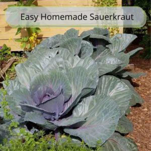 Easy Homemade Sauerkraut in a Crock