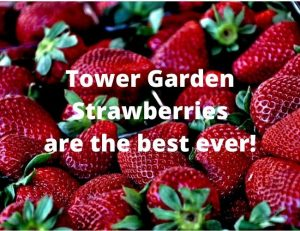 Tower Garden Strawberries are the best ever