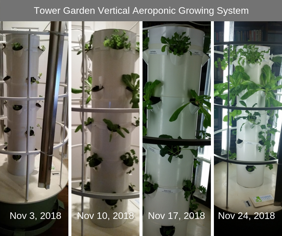 Four photos of hydroponic vertical garden showing one month of growth.