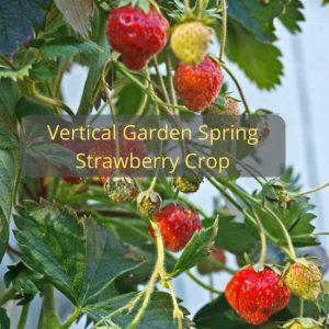 Vertical Garden Spring Strawberry Crop