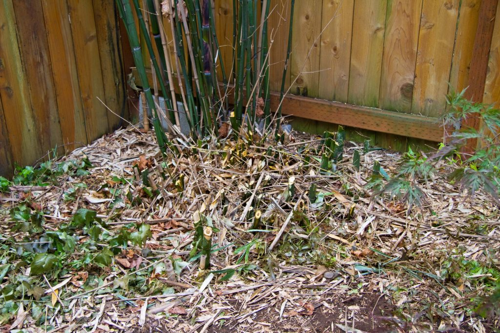 Cut down bamboo shoots at the root ball.