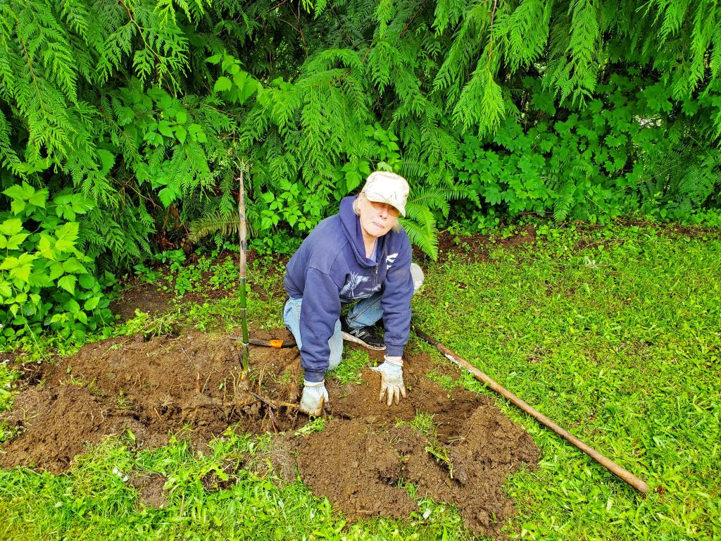 Bamboo shoot and root being dug up.