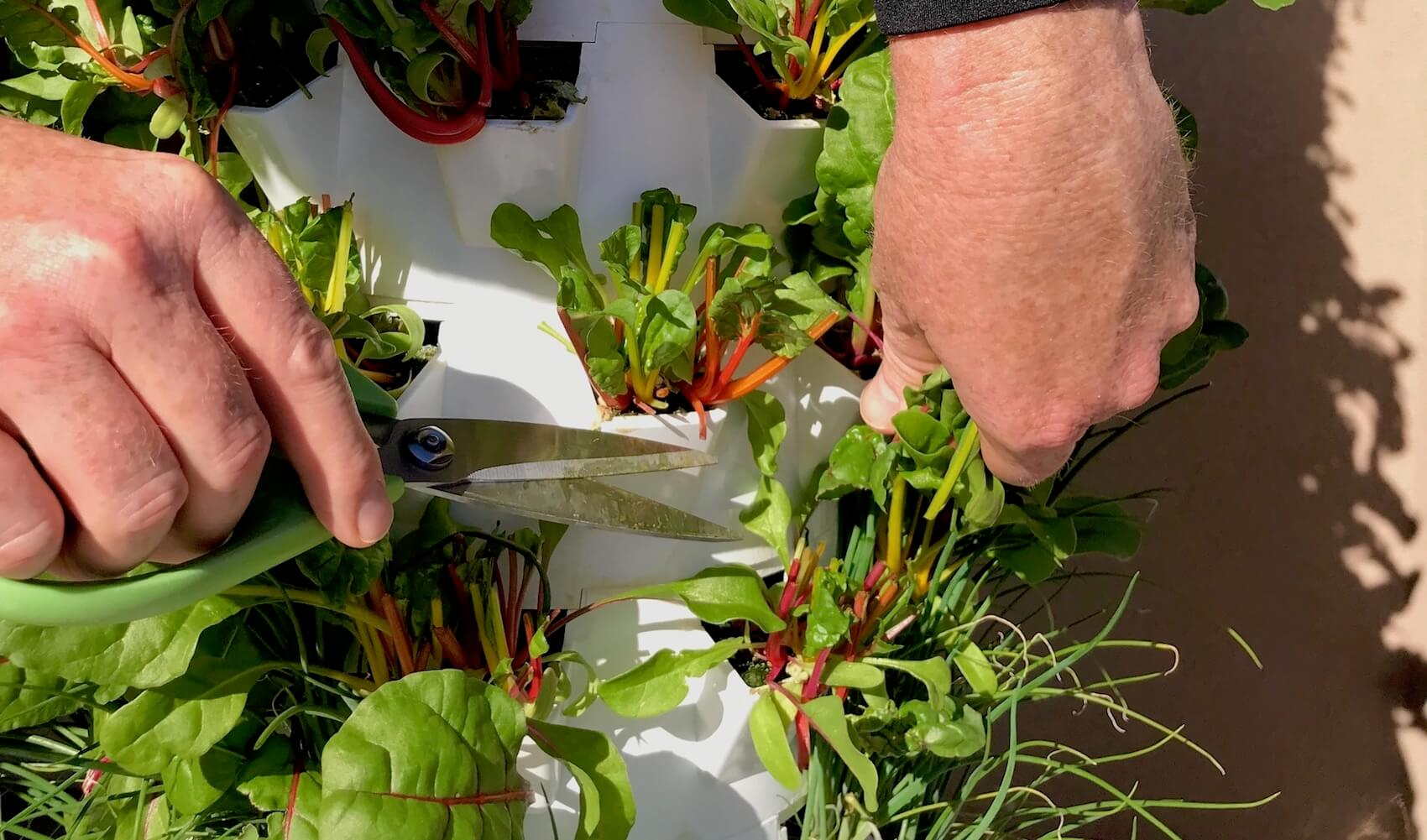 Microgreens Growing Microgreens is Easy