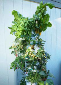 Vertical Garden Grew Amazing Long Chard Plants