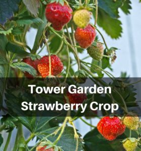 Tower Garden Strawberry Crop